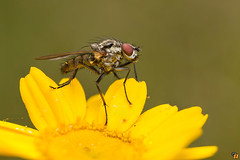Small fly (Rinaldo R) Tags: macro closeup insect fly mosca canonmpe diptera mpe dittero focusstacking zerene canon6d hfdf handheldstack