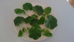 Mallow and dandelion leaves from the garden (avlxyz) Tags: weed vegetable mallow malvaceae edible malva malvasylvestris commonmallow fbf rounddock