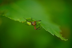 # (vieubab) Tags: araigne verdure vert feuillage feuille flou insecte macro fort flouartistique