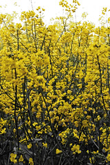yellow earth (CaitlinV2001) Tags: plant flower colour field yellow countryside land forests selectivecolour