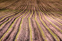 Agri (matthiasstiefel) Tags: abstract field lines corn feld mais saat abstrakt acker majs linien maz mas  frumentum