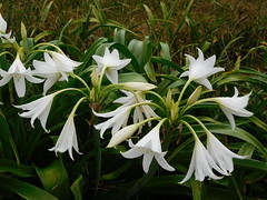 white Crinums (Just Back) Tags: flower sc fleur petals blumen stamens foliage growth stamen amaryllis carolina bloom buds alive botany scent filament anther physiology inflorescence liliaceae cultivated amaryllidaceae crinum umbel androecium