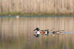 Northern Shovelers (Mike Schanbacher) Tags: usa bird birds ma duck capecod birding ducks waterfowl falmouth northernshoveler shoveler