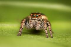 MMB_5212 (mmariomm) Tags: china spider jumping spiders salticidae carrhotus