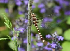 Stream Cruiser (Up Nort) Tags: wisconsin spring dragonfly mercer upnort streamcruiser didymopstransversa erikstabl