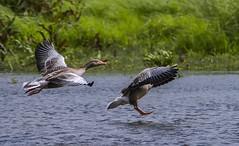 Graylag Geese (Rattyman76) Tags: geese leightonmoss graylags