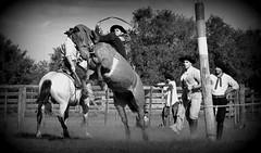 Mauro Passos (Eduardo Amorim) Tags: brazil horses horse southamerica brasil criollo caballo cheval caballos cavalos pferde cavalli cavallo cavalo gauchos pferd riograndedosul pampa hest hevonen campanha brsil chevaux gaucho  amricadosul bag fronteira hst gacho  amriquedusud  gachos  sudamrica suramrica amricadelsur  sdamerika crioulo caballoscriollos criollos jineteada   americadelsud gineteada  crioulos cavalocrioulo americameridionale caballocriollo eduardoamorim cavaloscrioulos