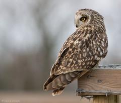 Short-Eared Owl (KHR Images) Tags: shortearedowl seo fendraytonlakes rspb cambridgeshire wild bird owl perched closeup nikon d7100 kevinrobson khrimages wildlife nature asioflammeus