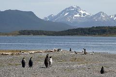 Veraneio (Arzivenko´s) Tags: bird praia beagle argentina landscape mar canal nikon d70 aves paisagem ave pássaros rei pinguim patagônia pinguins antártica ushuaya