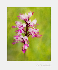 Orchis militaris (BirgittaSjostedt-away on vacation, back Augusty 1.) Tags: wild plant orchid flower color art texture nature closeup blossom unique serene ie rare protected photoborder magicunicornverybest birgittasjostedt orchidmilitaris