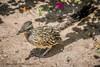 B36C6418 (WolfeMcKeel) Tags: road park new city vacation bird nature gardens fauna garden mexico botanical spring high flora downtown desert landscaping albuquerque runner roadrunner 2016