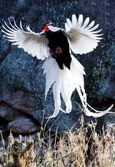 Silver Pheasant (Lophura nycthemera)  bi xin (China (Jiangsu Taizhou)) Tags: china park birds forest silver nikon shanghai wildlife ngc birding 300mm fuzhou fujian birdwatching f28 forestpark nationalgeographic birdwatcher 2016 zhangzhou silverpheasant lophuranycthemera  pheasant d7200  bixin