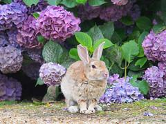 B6250618 (VANILLASKY0607) Tags: rabbit bunny bunnies nature animal japan photo wildlife wildanimal hydrangea rabbits rabbitisland wildrabbit okunoshima