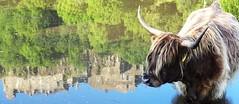 Heilan coo in pool below Stirling Castle (cocopie) Tags: castle stirling coo heilan
