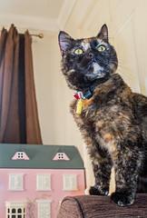 Smudge (June 2016) (3) Fuji X70 Compact) (1 of 1) (markdbaynham) Tags: pet cute animal cat prime feline fuji 28mm smudge fujinon f28 compact x70 apsc fujix 16mp transx