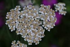Tiny Flowers Macro (hbickel) Tags: tiny flowers macro macrolens canont6i canon photoaday pad