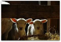the first day of my life... (rafischatz... www.rafischatz-photography.de) Tags: animals babies sheep pentax loveit newborn lamb barnstable k200d mygearandme mygearandmepremium mygearandmebronze