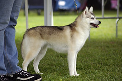 Maiev (Alexandra Kimbrough) Tags: show california dog miniature husky mini stack kai nordic claremont northern klee alaskan ukc conformation akk