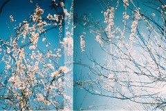 (Honey Bfly) Tags: primavera film analog 35mm spring lomography blossom almond multipleexposure almendro lomografia analogico fujifilm200 exposicionmultiple dianamini