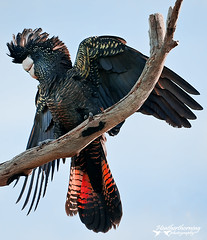 Red Tailed Black Cockatoo (heathth) Tags: nature birds animals wings wildlife naturereserve perth cockatoo westernaustralia australianbirds blackcockatoo redtailedblackcockatoo wirelesshill nikond90 sigma150500mmtelephoto