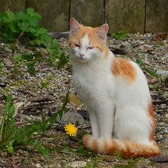 Cat with Dandelion (DomiKetu) Tags: flowers pet cats pets flower cute nature animal animals cat nikon europe alba dandelion romania vr roumanie bucium 18105mm catnipaddicts d5100