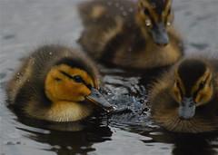 Do You Love Me ... ? (heinvanwersch) Tags: bird nature animal duck duckling hein heinvanwersch mygearandme mygearandmepremium mygearandmebronze mygearandmesilver mygearandmegold me2youphotographylevel2 me2youphotographylevel3 me2youphotographylevel1 freedomtosoarlevel1birdphotosonly freedomtosoarlevel2birdphotosonly freedomtosoarlevel3birdphotosonly freedomtosoarlevel4birdphotosonly me2youphotographylevel4 freedomtosoarlevel4birdsonly