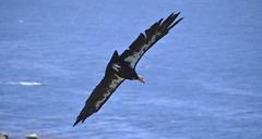 California Condor #51 (Thomas Cantwell) Tags: ocean california bigsur condor