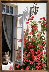 Summer Day (John Jardin) Tags: old flowers light red summer sunlight cute window wall cat warm open bright traditional friendly