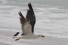 Flight of a Pacific gull (Uhlenhorst) Tags: travel birds animals tiere reisen australia australien vgel 2012