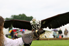 "IMG_5104aw (FlyingV99) Tags: school bird hall flying suffolk eagle display country fair owl falcon 2012 talons prey"" ""birds heveningham ""english falconry"""