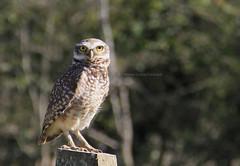 Coruja (fabsciack) Tags: birds brasil canon aves owl coruja santacatarina pássaros canoneos7d riodoeste riodooeste