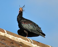 Northern Bald Ibis (442iMAGES) Tags: bird wildlife kenward pinfold baldibis hattersley northernbaldibis