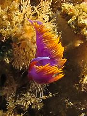 Spanish Shawl (Ed Bierman) Tags: scuba diving marinelife ncrd gaydiving
