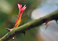 Brôto (Sérgio Vasconcellos) Tags: brazil brasil flora natureza vermelha vegetal flôr espinho flôres frenteafrente brôto