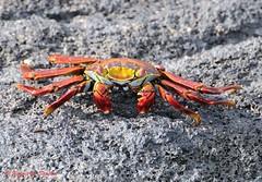 Sally lightfoot crab - Sally-pied-léger - Zapaya - Grapsus grapsus (elgalopino) Tags: sea mer mar ecuador nikon crab sally galapagos equateur islas cangrejos d300 lightfoot crustaceos grapsusgrapsus zapaya sallypiedléger
