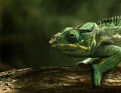 A secret world in the twilight (_Massimo_) Tags: verde green chameleon camaleonte massimostrazzeri ziomamo