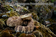 Crotalus viridis oreganus (Primeval Nature) Tags: usa nature horizontal washington day outdoor reptile snake threatening wildlife jag grandcoulee viper snakes rattlesnake crotalusviridis threat reptiles venomous rattler crotalus reptilia fullbody grantcounty rattling crotalinae viperidae pitviper northernpacificrattlesnake crotalusviridisoreganus defensivebehaviour defensivebehavior threatposture
