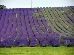 GOC Ickleford 022: Lavender field (anemoneprojectors (through the backlog)) Tags: walking countryside hiking walk farm lavender hike hertfordshire herts cadwell lavenderfarm goc ickleford lavenderfield hitchinlavender cadwellfarm gayoutdoorclub z981