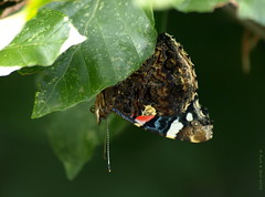 Upside Down (Rick & Bart) Tags: atlanta nature butterfly bug garden insect meg natuur redadmiral tuin vlinder vanessaatalanta admiraalvlinder rickbart thebestofday gnneniyisi rickvink atlantavlinder