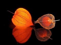 pysalis (alanpeacock2) Tags: red orange flower fruit seed lantern physalis chineselantern frommobileme