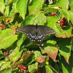 Black swallowtail in dogwood berries (Vicki's Nature) Tags: red black green fall female yard canon butterfly georgia berries spots dogwood swallowtail s5 blackswallowtail 7667 touchofred touchofblue vickisnature touchofwhite
