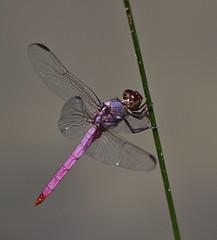 Roseate Skimmer (Orthemis ferruginea) (kaeagles) Tags: texas dragonfly bugs lrgv odonata hidalgocounty esterollano esterollanogrande