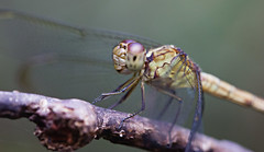 Dragonfly Close-Up (Bob Decker) Tags: macrolife