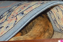 Gracie 3 November 2012 1669b 150 (edgarandron - Busy!) Tags: cats cute cat gracie feline tabby kitty kitties tabbies patchedtabby
