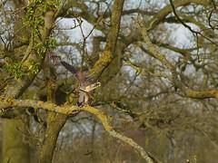 Kestrels Mating (ukstormchaser (A.k.a The Bug Whisperer)) Tags: uk trees male bird birds animal animals female march spring wildlife mating milton keynes kestrel kestrels