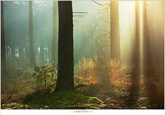 Goud licht in het bos (5D323495) (nandOOnline) Tags: bomen nederland natuur bos heide ochtend landschap zonlicht leenderbos nbrabant leenderheide heezevalkenswaard