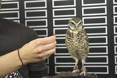 La Riviere Raptor Festival 2014 (Jeannette Greaves) Tags: tourism manitoba event displays owl educational prey raptors burrowingowl 2014 migratingbirds lariviere raptorfestival blairmorrisonhall