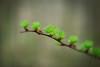 soft needles (-justk-) Tags: green nature spring lariks lork larixdecidua florabellatextures europeselariks