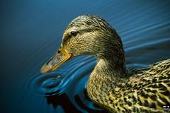 Deep Duck Water (PMU - Photography) Tags: orange water see duck wasser blau teich ente spiegelung wellen weibchen