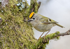 JWL3313  Goldcrest...... (jefflack Wildlife&Nature) Tags: nature birds countryside woodlands wildlife avian warbler goldcrest songbirds gardenbirds wildbirds warblers